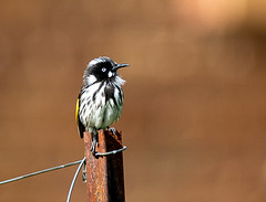 IMG_9980-Edit-3 (littledevilsminis) Tags: honeyeater bird australianbird birdphotography