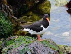Oystercatcher (Lanius Excubitor) Tags: oystercatcher nikon wading bird sea rock seaweed stones
