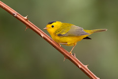 Wilson's Warbler (dennis_plank_nature_photography) Tags: avianphotography thurstoncounty wilsonswarbler birdphotography naturephotography wa avian birds home littlerock nature