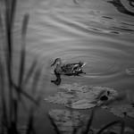2018.06.21_172/365 - city pond thumbnail