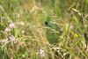 gebänderte Prachtlibelle auf blühender Sommerwiese (Jana`s pics) Tags: libelle dragonfly insekten insects blumen flowers wiese sommer summer grass gras tiere animals