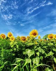 sunflower_072918_25 (Linda Moll Walker) Tags: sunflowers elverson pa summer