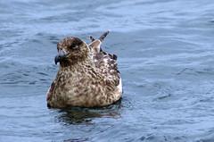 Skua Afloat (MalB) Tags: stercorariusskua greatskua bonxie bird seabird shetland zetland scotland pentax k5