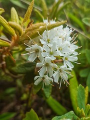 Day 6 - Labrador Tea in blossom at East Point National Wildlife Area (Bobcatnorth) Tags: lesilesdelamadeleine magdalenislands quebec canada summer 2018 cycling velo bicycle bicycling cycletouring bicycletouring touring tourdevelo gulfofstlawrence