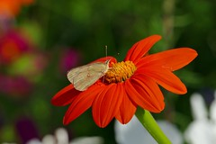 Panasonic FZ1000, Butterfly on a Flower, Botanical Gardens, Montréal, 21 July 2018 (13) (proacguy1) Tags: panasonicfz1000 butterflyonaflower botanicalgardens montréal 21july201812