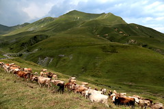 Herd at Crocedomini Pass (annalisabianchetti) Tags: crocedomini herd mandria pascolo pasture rural mountains montagne alps italy travel cows mucche paesaggio landscape