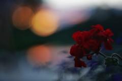 Geranium in Golden Hour (Nyllet) Tags: sunset geranium minoltamcrokkorpf5814 bokeh backlit