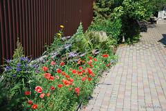 Маки, Дім, сад, город Ukraine InterNetri 156