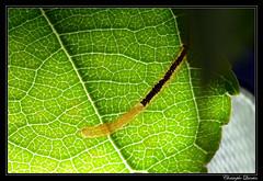 Lyonetia clerkella larva (cquintin) Tags: arthropoda lepidoptera lyonetiidae lyonetia clerkella larva larve