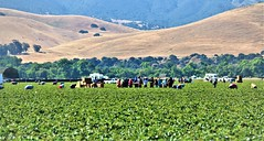June21Image2461 (Michael T. Morales) Tags: agriculture farm cultivation rows furrows soil harvest salinasvalley ag