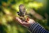 got it! (Chrisnaton) Tags: bird flying wings littlewings bokeh nature green hand abflug vogel departure arosa