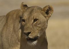 Lioness Etosha Namibia E48G5279 (susan yeomans) Tags: namibia namibiaetosha etosha etoshanationalpark africa wildlife cat feline