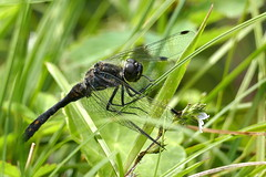 Black Darter Dragonfly (eric robb niven) Tags: ericrobbniven scotland dunkeld perthshire wildlife nature darter black dragonfly springwatch