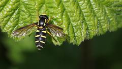 Hoverfly - Xanthogramma Citrofasciatum (jaytee27) Tags: hoverfly mallingdown sussex xanthogrammacitrofasciatum naturethroughthelens
