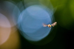 Thunderballs (Paul Wrights Reserved) Tags: hoverfly hoverflies fly flies insect inflight insects insectinflight infocus wings blur motion colour bokeh bokehphotography bokehballs sundaysliders sliderssunday hss