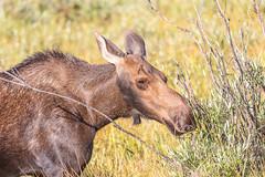 Moose cow grazing