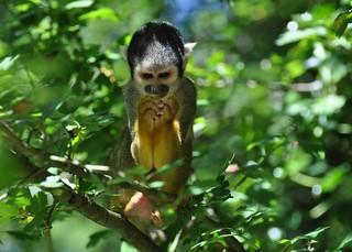 Saimiri sciureus - Common Squirrel Monkey - Saïmiri commun ou Singe-écureuil commun - 22/06/18