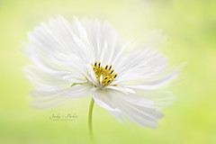 Cosmos White (Jacky Parker Flower Photography) Tags: cosmosflower whitecosmos cosmos flower white closeup selectivefocus floatypetals imagefocustechnique horizontalformat outdoors freshness purity beautyinnature floralart summerflower summer2018 flowerphotography nikond750