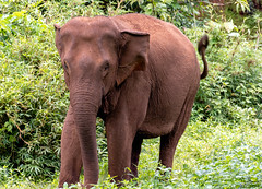 Out the Way !! (Tony_Brasier) Tags: elephants green grass trees nikond7200 bluesky cambodia
