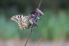 Koninginnepage (  Papilio machaon)Sint-Maartensheide Beek Bree Belgium (look to see) Tags: koninginnepage papiliomachaon sintmaartensheide beek bree belgium bokeh vintagelens 2018