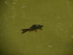 IMG_1836 (germancute) Tags: nature outdoor park plant pond thuringia thüringen tree teich water wasser fisch