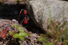 Wild strawberries growing on gravel - Ahomansikka kasvaa melkein pelkässä sorassa (liisatuulia) Tags: porkkala