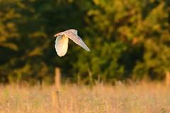 Barn Owl (fotopraxis) Tags: barn owl staveley nature reserve north yorkshire birds prey nikon d7200 lenses 200500mm