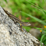 Sequoia National Park Lizard thumbnail