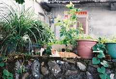 (YL.H) Tags: film taiwan cat canon 500n hillvale sunny16 底片 宜蘭