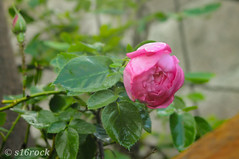 Gray skies are just clouds passing over.  #flower #nature #leaf #flora #outdoors #rose #garden #summer #petal #growth #bud #floral #shrub #bright #fragility #romance #blooming #dew #snypechat (16srock) Tags: floral romance nature snypechat flora bright leaf summer flower shrub bud blooming petal outdoors dew rose garden growth fragility