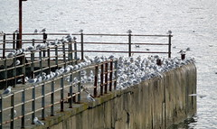 Waiting for the boat (stuartcroy) Tags: orkney island beautiful bird seagull seagulls scotland sony sea