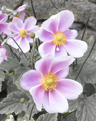 Japanese anemone (sdmvqedd30) Tags: flower flowers leaves petals anemone plant japanese garden summer pink purple yellow white bright leica