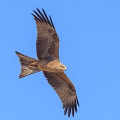 a black kite (Fat Burns ☮ (gone bush)) Tags: blackkite milvusmigrans kite raptor bird australianbird fauna australianfauna hawk nikond500 oxleycreekcommon brisbane queensland nikonafs200500mmf56eedvr australia wildlife australianwildlife nikon