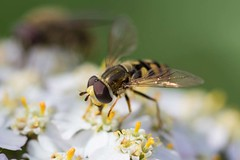Hoverfly (digiphill) Tags: 2018 august beautifulearth budlebay closeup hoverfly macro northeast northeastcoast northumberland northumberlandcoastaonb summer insect