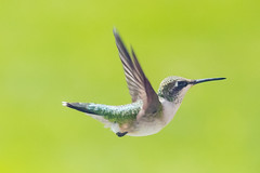 Female Ruby-Throated Hummingbird (Notkalvin) Tags: bird hummingbird rubythroatedhummingbird fast swift quick small tiny feathered avian nature flying outdoors free michigan