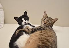 Tina and Cricket, Snuggle Bunnies (rootcrop54) Tags: tina female tuxedo cricket mackerel tabby striped male cat snuggling cuddling buddies bed neko macska kedi 猫 kočka kissa γάτα köttur kucing gatto 고양이 kaķis katė katt katze katzen kot кошка mačka gatos maček kitteh chat ネコ