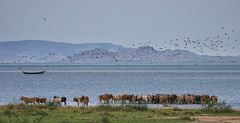 Refreshment VII (AnyMotion) Tags: cattle rinder cow kuh seagulls möwen lakevictoria 2006 africa animals nature reisen tansania wildlife travel afrika tanzania anymotion landscape landschaftsaufnahmen