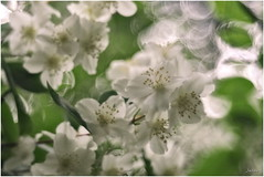 P6210022 (yaros66) Tags: achromat softfocus garden flowers trees