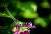 紫陽花 #7ーHydrangea #7 (kurumaebi) Tags: yamaguchi 秋穂 山口市 nikon d750 nature マクロ macro 花 紫陽花 アジサイ hydrangea flower 虫