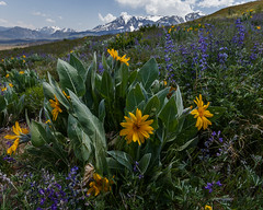 Mono Basin Wildflowers 2018 (Jeffrey Sullivan) Tags: mono lake basin easternsierra sierranevada leevining california united states usa monocounty landscape nature travel night photography canon eos 6d photo copyright 2018 jeff sullivan june lupine mules ears wildflowers eastern sierra