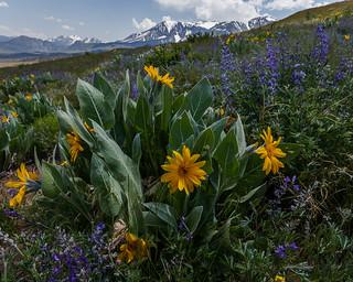 Mono Basin Wildflowers 2018