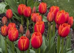 Skagit Tulip Festival (ValeTer_) Tags: flower plant tulip flowering petal spring stem lily family bud seed nikon d7500 skagit valley festival usa wa washington nature colors skagitvalleytulipfestival tulipfestival coth5