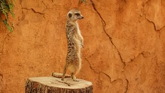 Suricate - 5395 (YᗩSᗰIᘉᗴ HᗴᘉS +17 000 000 thx) Tags: suricate animal zoo pairidaiza hensyasmine namur belgium europa aaa namuroise look photo friends be wow yasminehens interest intersting eu fr greatphotographers lanamuroise tellmeastory flickering