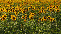 Summer - sun - and a field full of sunflowers - Happy Weekend! (Ostseeleuchte) Tags: summer sun sunflowers sommer sunne sonnenblumen sonnenblumenfeld fieldofsunflowers 2018 happyweekend