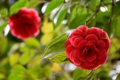 (Roi.C) Tags: flowers flower garden blossom nature season outdoor pink macro green nikkor nikond5300 nikon bright light camellia simplysuperb ngc bokeh
