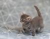 (JBA-77) Tags: cats animals kitten kittens cute nature