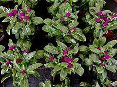 #Kugelamarant #GomphrenaGlobosa (RenateEurope) Tags: pink renateeurope 2018 iphoneography flowers flora awesomeblossoms
