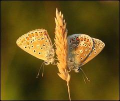 Common Blues roosting - Prestbury Hill (glostopcat) Tags: commonbluebutterflies butterflies insects invertebrates macro glos summer august butterflyconservation prestburyhillnaturereserve