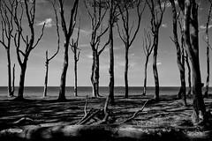 Beech Trees (g_heyde) Tags: beech tree ghostforest nienhagen gespensterwald ostsee balticsea mecklenburgvorpommern sl