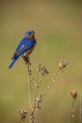 IMG_0295 (Larry E. Anderson) Tags: biome camdenstatepark easternbluebird ecosystem minnesota sialiasialis bird passeriformes passerines prairie seasons songbirds spring